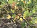 Herbstschluss im Rheingau - HerbstMuck